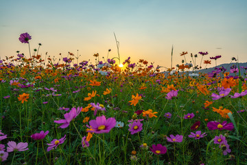 Colorful cosmos flower meadow in sunset.