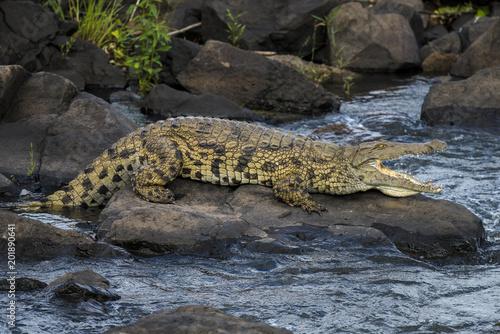 38f909d73d6d Crocodile du Nil