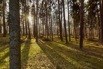 Forest of Pines