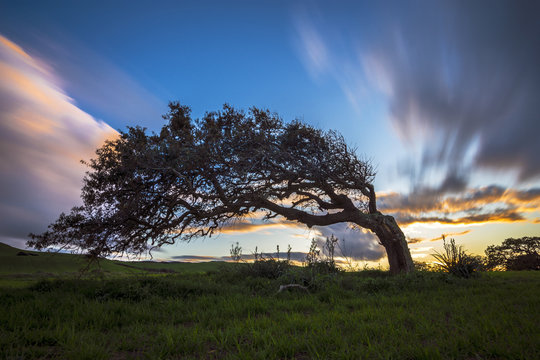solitary tree bent by the wind on the hill in Sardinia at sunset