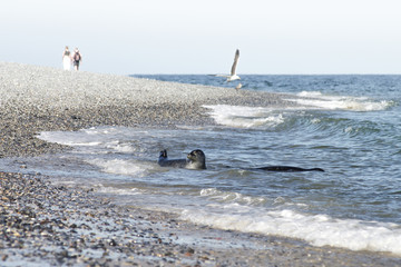 Rookery of seals and people around at Helgoland island, Germany, summer