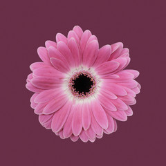 Gerbera against plain background, pink