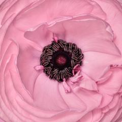 Ranunculus, close up, pink
