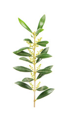 Green leaves olive tree isolated white background