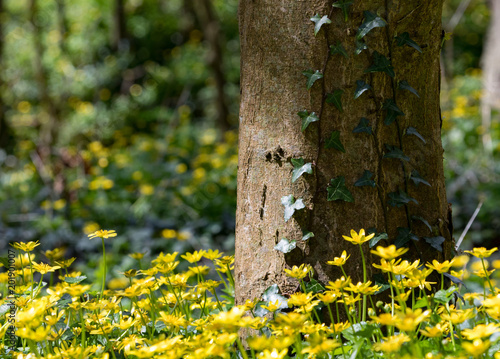 Tree Trunk With Ivy Growing With Little Yellow Forest Flowers