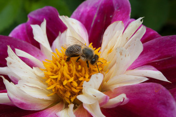 the bee collects pollen