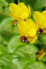 Macro of red ladybird Coccinella septempunctata in reflection