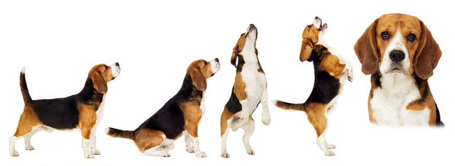 beagle dog stands sideways in full growth on a white background