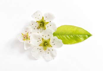 Blossoms pear tree white background Spring flower