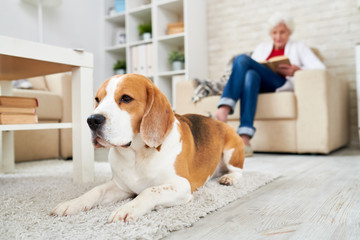 Sad old Beagle dog lying on carpet and looking straight while senior woman reading in armchair in background