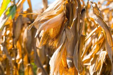 Ripened corn cob