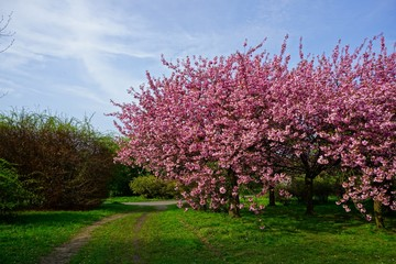 Pink flowers blossomed Japanese cherry