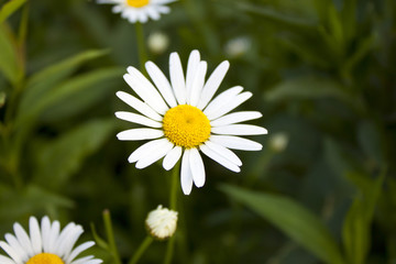 Beautiful white Daisy on green grass background.
