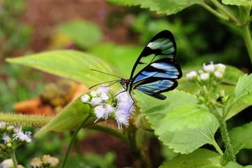 A Glasswinged butterfly feeds in a Costa Rican garden.