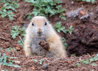 Prairie Dog working on it's hole