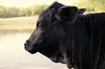 Wall Mural - Black Angus cow on cattle farm.
