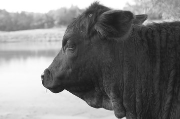 Wall Mural - Black Angus cow on agriculture cattle farm shows profile of head in black and white.