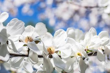 Blooming magnolia. Magic magnolia in the garden
