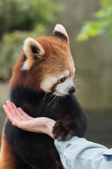 お手をするレッサーパンダ