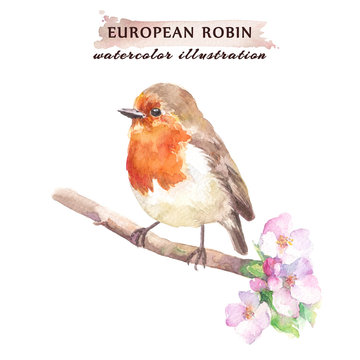 Robin redbreast bird on the cherry blossom branch.  Watercolor illustration, isolated on a white background.