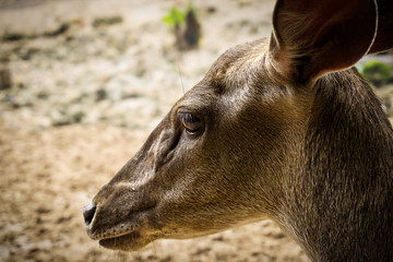 Face of a female deer or doe from Borneo