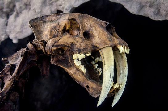Smilodon saber tooth extint feline