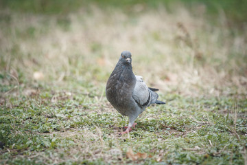 Pigeon looking for food in green grass
