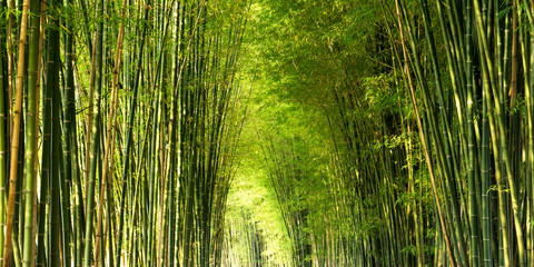 Panorama bamboo forest or bamboo grove and sun light background