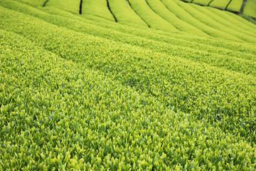 茶畑 新緑