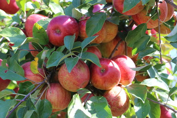 Bunch of Red Apples on the Tree