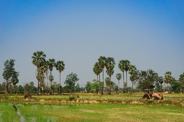 Sugar palm and paddy field with blue sky.