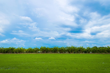 Green rice field full of rice fields