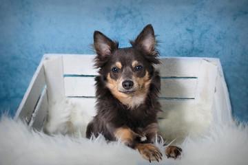 Hund sitzt in einer Holzkiste vor blauem Hintergrund mit Felldecke im Vordergrund