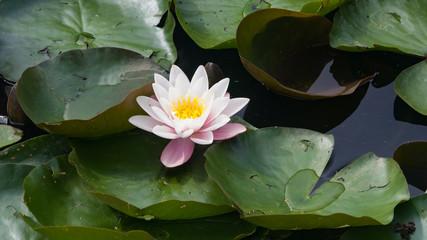 Fond de hotte en verre imprimé Nénuphars European White Waterlily, Water Rose or Nenuphar, Nymphaea alba, flower close-up, selective focus, shallow DOF