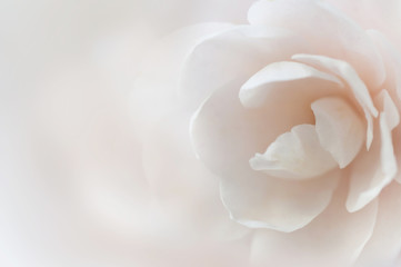 Soft background with white flower. Pastel color blurred backdrop.