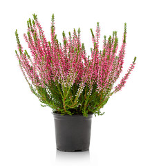 Heather flowers of pink colour isolated on the white background without any shadow reflection. Flowers of pink Calluna vulgaris in pot. Autumn decoration, indoor, outdoor.