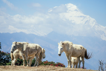 beautiful white horses graze next to the mountains in Nepal