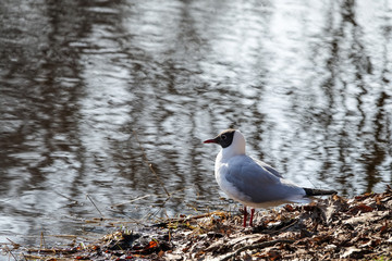 A Black-headed gull sitting on the edge of a river.