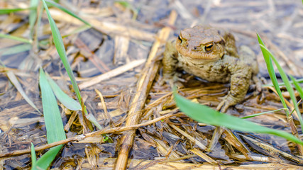 Common brown frog Rana temporaria Edible frog esculenta Pelophylax esculentus populations in Europe tree frog in the pond water
