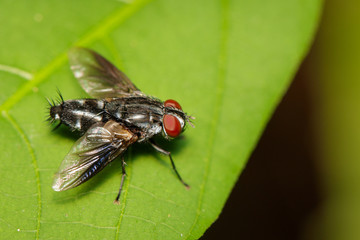 Image of a flies (Diptera) on green leaves. Insect. Animal.