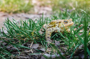 Common brown frog Rana temporaria Edible frog esculenta Pelophylax esculentus populations in Europe tree frog in green grass looking at the camera