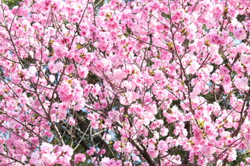 Variety of beautiful Cherry blossoms at Ueno Park in Tokyo, Japan