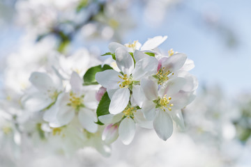 Apple tree blossom close-up. White apple flower on natural white and blue background.