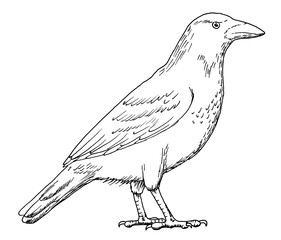 Drawing of crow  - hand sketch of grey crow bird, black and white illustration