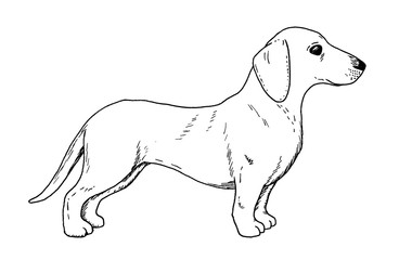 Drawing of dachshund dog - hand sketch of badger dog, black and white illustration