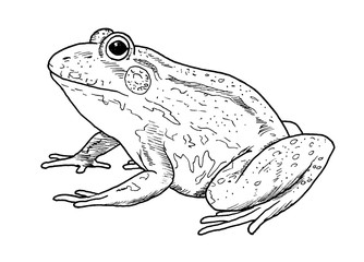 Drawing of frog  - hand sketch of animal, black and white illustration
