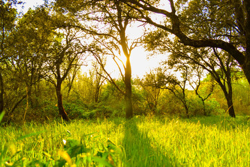 Sun rays shining through trees with defocused green grass field. Nature sunset