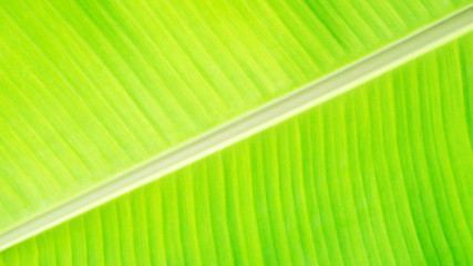 Close up of green banana leaf for a background.