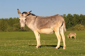 Donkey rest on the floral spring pasture