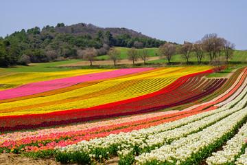 Champ de tulipes de couleurs differents en France, Alpes de Haute Provence.